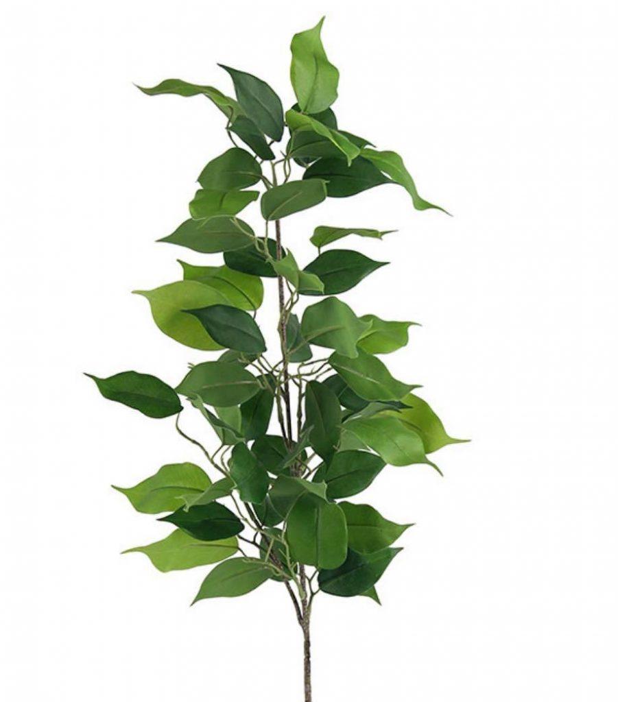 Ficus Spray