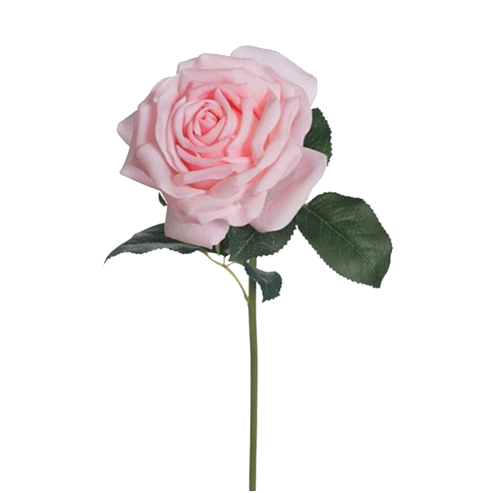 Open Light Pink Rose
